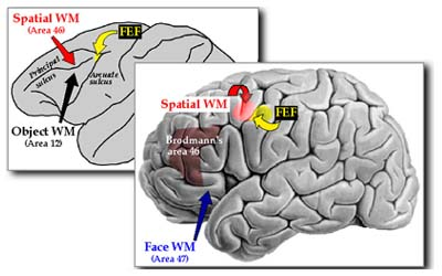 a comparison of short term memory and working memory The theoretical concepts short-term memory (stm) and working memory (wm)   what are the differences between long-term, shortterm, and working memory.